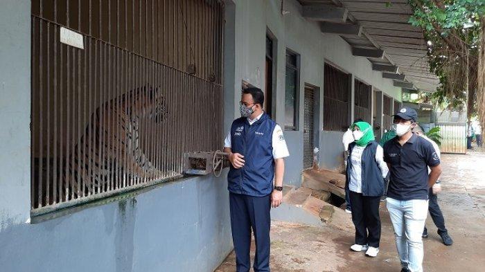 Dua Harimau Sumatera di TMR Terpapar Covid-19, Diduga Tertular dari Pengunjung OTG