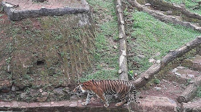 Harimau Terpapar, Legislator Pertanyakan Pengawasan Terhadap Satwa-satwa di TM Ragunan