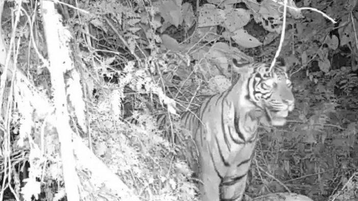 Harimau Turun dari Gunung Leuser dan Masuki Pemukiman Warga, 1 Mati, 1 Terluka, 4 Hilang