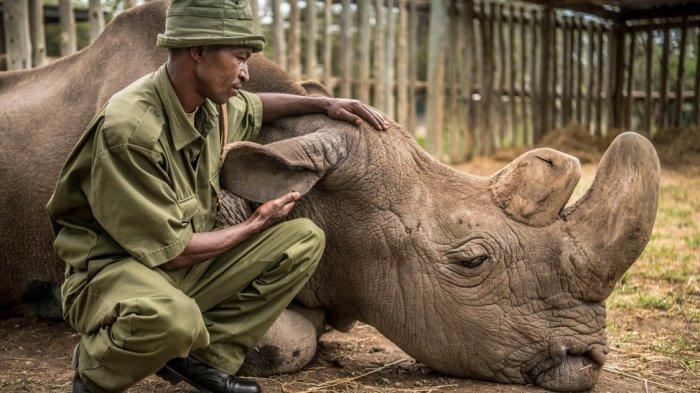 Kisah Sudan, Hewan Paling Berharga dan Tinggal Satu-satunya di Dunia, Dijaga Pasukan Militer Khusus