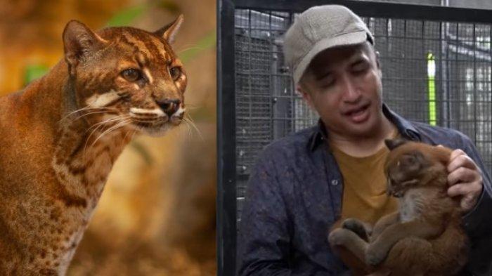 Irfan Hakim Menangis Masih Bisa Gendong Kucing Emas Langka Yang Hampir Punah Warta Kota