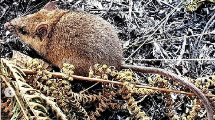 Taman Nasional Gunung Ciremai Temukan Tikus yang Belum Dapat Diidentifikasi Jenisnya