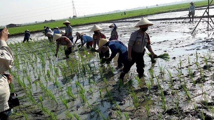 Miliki 50 Ribu Hektar Sawah dan Panen 780 Ribu Ton Gabah/Tahun, Ngawi Jadi Penyangga Produksi Pangan
