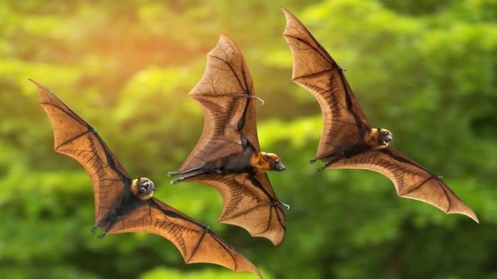 Virus Nipah Berasal dari Inang Kelelawar Buah Menular dan Menyebabkan Kematian, Begini Penjelasannya