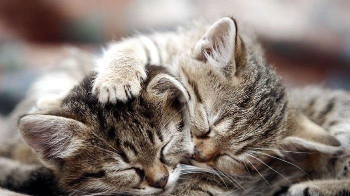 INGAT! Jangan Beri Makan Nasi kepada Kucing, Ini Alasannya