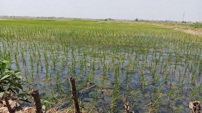 Sudah 8 Tahun Lahan Pertanian di Kabupaten Bekasi Menyusut Sampai 7 Hektar
