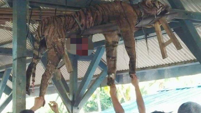 Tragedi Harimau Sumatera yang Terancam Punah Dibantai dan Jadi Tontonan