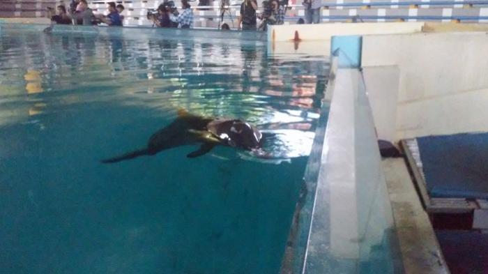 Ternyata Ini yang Dilakukan Lumba Lumba Ancol Saat Gerhana Matahari