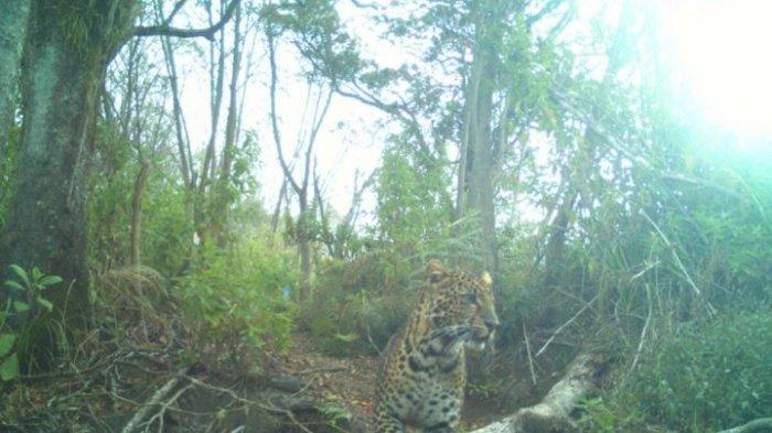 Pendaki Kabur Lihat Bayi Macan Tutul Jawa di Gunung Papandayan, Kamera CCTV Potret 10 Macan Dewasa