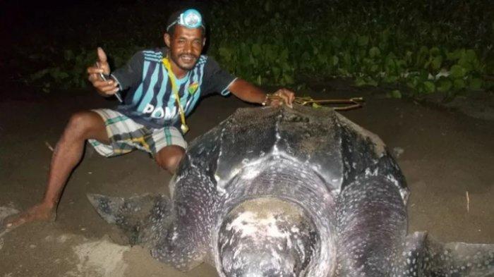 Lima Ekor Penyu Raksasa Mendarat dan Bertelur di Pantai Warebar Raja Ampat Papua