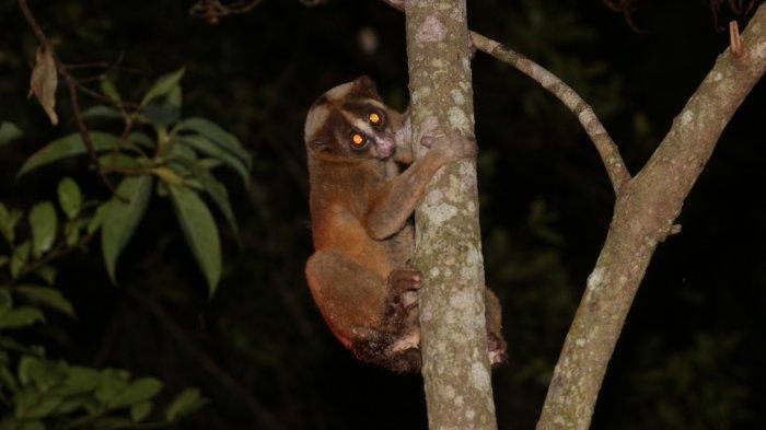 Nyticebus Javanicus merupakan satwa endemik Indonesia yang dikenal dengan sebutan Kukang Jawa. Primata ini terancam punah akibat perburuan liar, hilangnya habitat, dan diperjualbelikan sebagai hewan peliharaan.