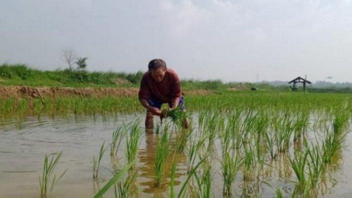 Bantu Petani Terdampak Banjir, Pemkab Bekasi Salurkan 173 Ton Benih Padi