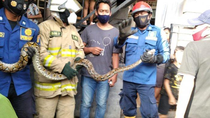 Bikin Ngilu, Ular Sanca Sepanjang 2,5 Meter Ditemukan Dalam Tumpukan Seng Rumah Warga di Jatinegar