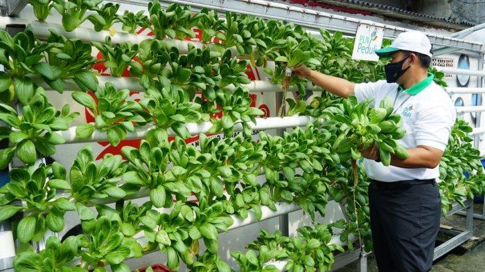 Anggota P4S Daun Hijau RW 3 Cempaka Putih menanam sayuran hidroponik dengan memanfaatkan lahan yang ada di wilayah tersebut.