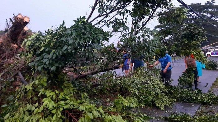 Pohon Beringin Besar Tumbang Menimpa Mobil dan Menutup Akses Jalan Pajajaran di Pamulang