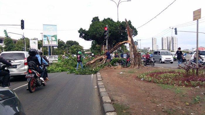 Tidak Ada Hujan, Pohon di Jalan Daan Mogot Arah Kalideres Tumbang Halangi Pengguna Jalan