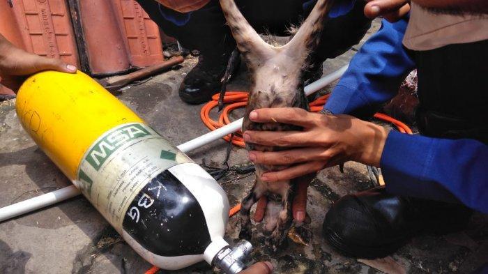 Petugas Gulkarmat Jakarta Barat selamatkan anak kucing yang terperosok ke lubang pompa air di Kembangan Selatan, Kembangan, Jakarta Barat, Sabtu (31/10/2020)