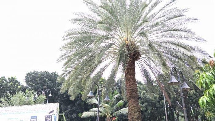 Sebatang pohon kurma di Masjid Agung Al Barkah Bekasi, Kecamatan Bekasi Selatan, Kota Bekasi mulai menunjukkan tanda akan berbuah. Diperkirakan buah bisa dinikmati setelah lebaran Idul Fitri 1440 H pada Juni mendatang.