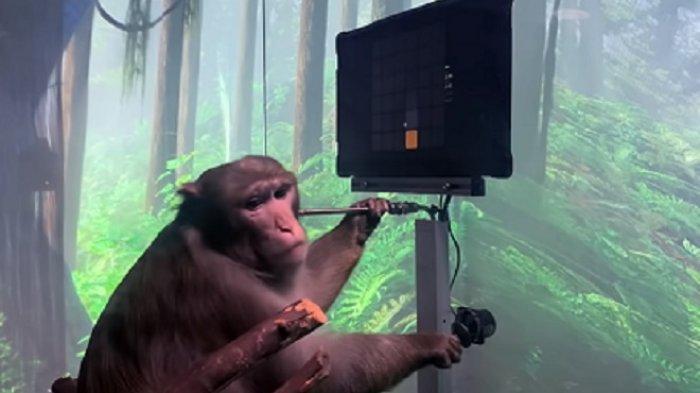 Gokil! Elon Musk Buat Eksperimen, Bikin Seekor Monyet Bisa Bermain Game usai Tanamkan Chip di Otak