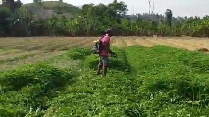 Petani Kesal Harga Sayur Murah, Babat Habis Tanamannya Pakai Mesin Pemotong Rumput