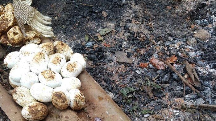 Warga Mustika Jaya Bekasi Dikejutkan dengan Ditemukannya 20 Butir Telur Ular Kobra di Permukiman