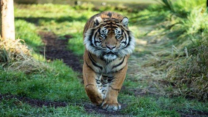 TERUNGKAP Gadis Diterkam 2 Harimau yang Dibesarkannya Sejak Kecil, Tubuhnya Diseret & Dicakar-cakar