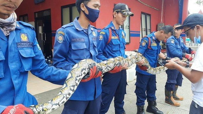 Damkar Kota Tangsel Tangkap Ratusan Ular, Diselamatkan ke Komunitas Hewan Melata