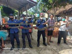 Dua Ular Sanca Sepanjang 3,5 Meter Ditemukan di Kepulauan Seribu