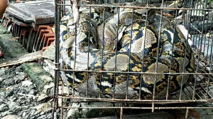 Ular Sanca Sepanjang 3 Meter Ditemukan di Kaliabang Kota Bekasi Bikin Warga Geger
