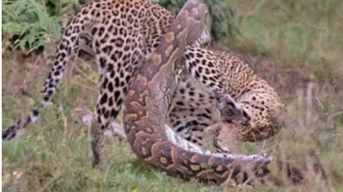 VIDEO Ular Piton Bertarung Melawan Macan Tutul Jadi Viral, Simak Cara Raja Hutan Habisi Si Piton