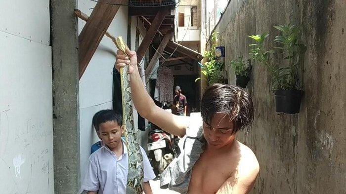 Warga di Jalan Ancol Dikejutkan Penemuan Ular Sanca Sepanjang 2,5 Meter di Saluran Air