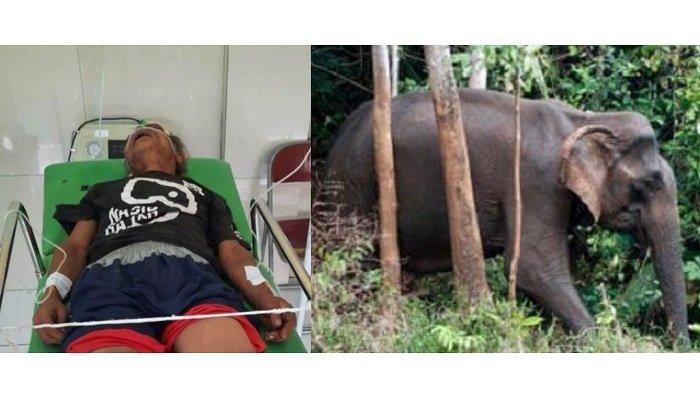 Warga Aceh Diinjak Gajah Liar Alami Kritis, Abdurrahman Terluka di Kaki dan Kepala, Ini Kronologinya