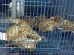 20150930penjual-sering-bohongi-pembelinya-kucing-hutan-disebut-macan-dahan_20150930_123835.jpg