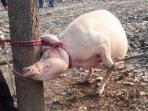 20151029-bocah-dimakan-babi-di-china_20151029_025854.jpg