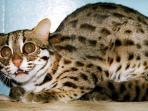 20151119-kucing-hutan_20151119_203012.jpg