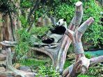 20171105istana-panda-di-taman-safari-indonesia-siap-dibuka_20171105_072436.jpg