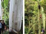 20180130-pohon-pisang-raksasa_20180130_181254.jpg