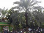 20180523pohon-kurma-di-masjid-al-barkah-bekasi-berbuah-saat-ramadan1_20180523_174144.jpg