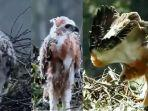 anakan-burung-garuda-atau-elang-jawa.jpg