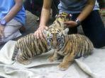 dua-anak-harimau-benggala_20170802_145423.jpg