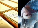 emas-batangan-ditukar-dengan-empat-ekor-ikan-cupang.jpg