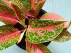 foto-ilustrasi-tanaman-hias-aglonema.jpg