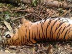 harimau-sumatera-betina-yang-sedang-bunting-ditemukan-mati_20180927_180507.jpg