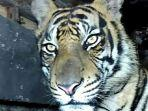 harimau-sumatera-yang-terjebak.jpg