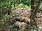 keluarga-harimau-sumatera-yang-ditemukan-mati-di-aceh.jpg