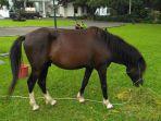 kuda-pemberian-warga-sumba-barat-daya-untuk-jokowi_20170902_123920.jpg