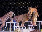 macan-dan-singa-di-sirkus_20171128_083917.jpg