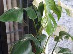monstera-variegata.jpg