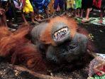 orangutan-tewas-terbunuh_20170628_011101.jpg