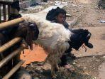 pedagang-hewan-kurban-di-jalan-penataran-menteng_20170831_141816.jpg
